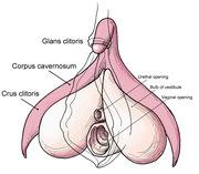clitoris_anatomy